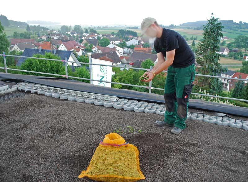 sedumsprossen-ausbringung-dachgarten24