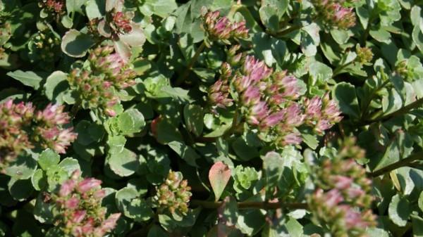 Sedum spurium 'roseum', Rosa Teppich-Fettblatt