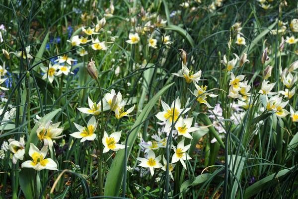 Blumenzwiebel Mischung - für Ihr farbenfrohes Dach im Frühjahr
