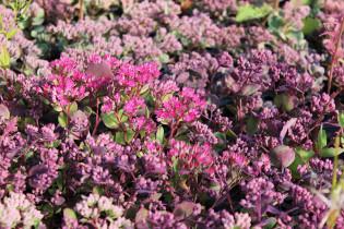 Hylotelephium cauticola, Himalaja Fetthenne