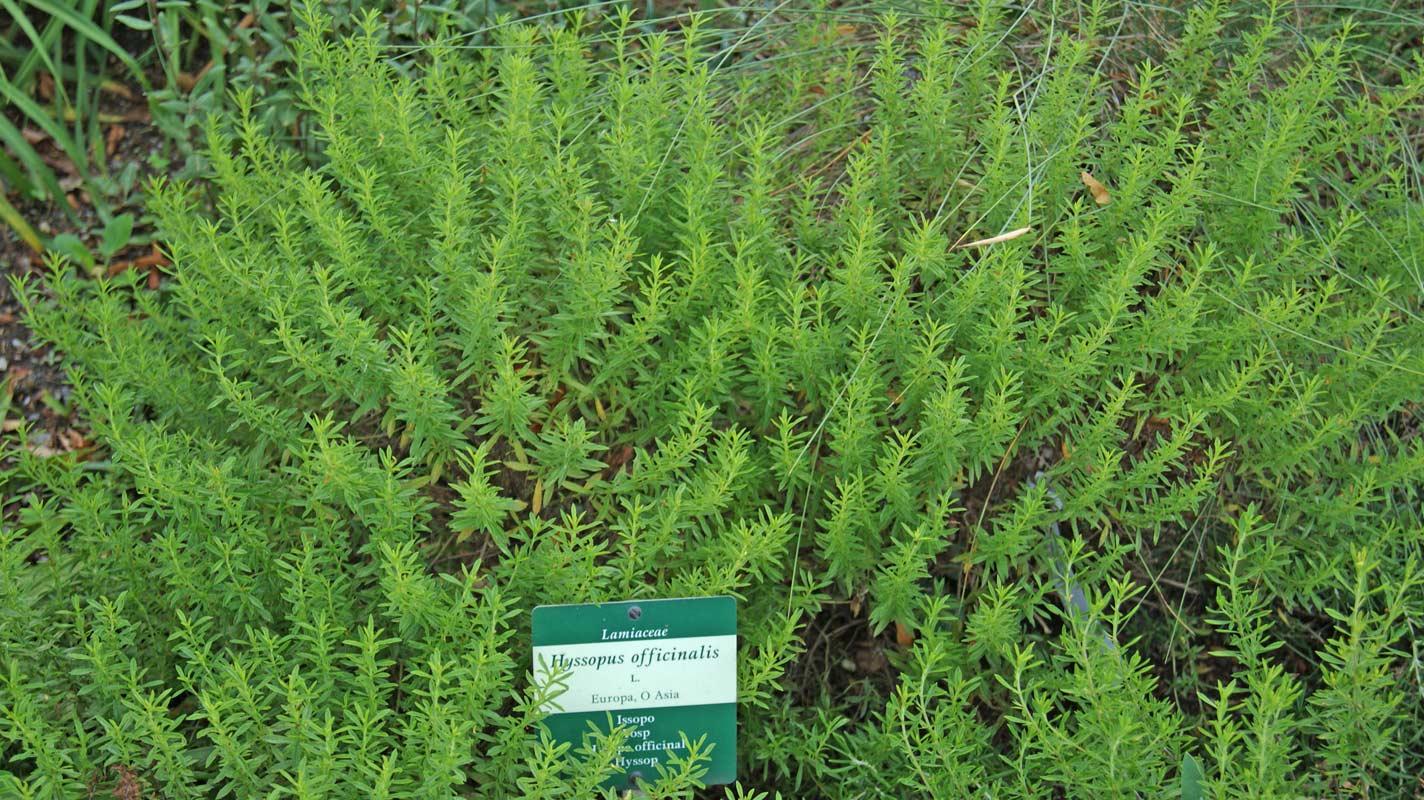 hyssopus officinalis ysopkraut dachgarten24 pflanzen. Black Bedroom Furniture Sets. Home Design Ideas