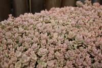 Sedum cyaneum 'Rosenteppich', Blaugraues Fettblatt