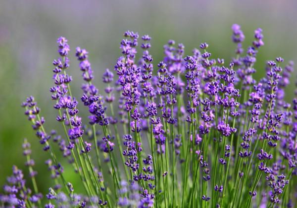 Lavandula angustifolia, Echter Lavendel