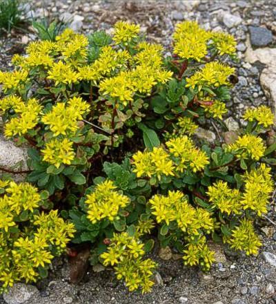 sedum hybridum immergr nchen dachgarten24 pflanzen f r ihr gr nes dach. Black Bedroom Furniture Sets. Home Design Ideas