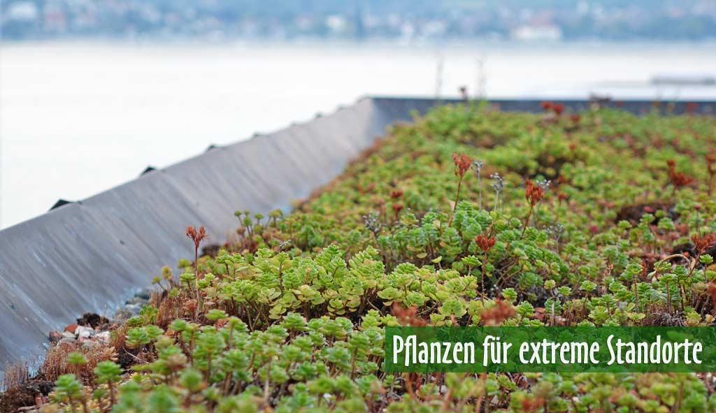 Banner-Dachbegruenung-Dachgarten24-Pflanzen3