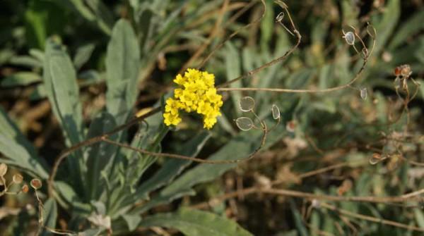 Alyssum saxatile, Steinkraut