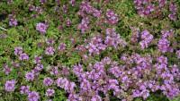 Thymus serphyllum, Sandthymian