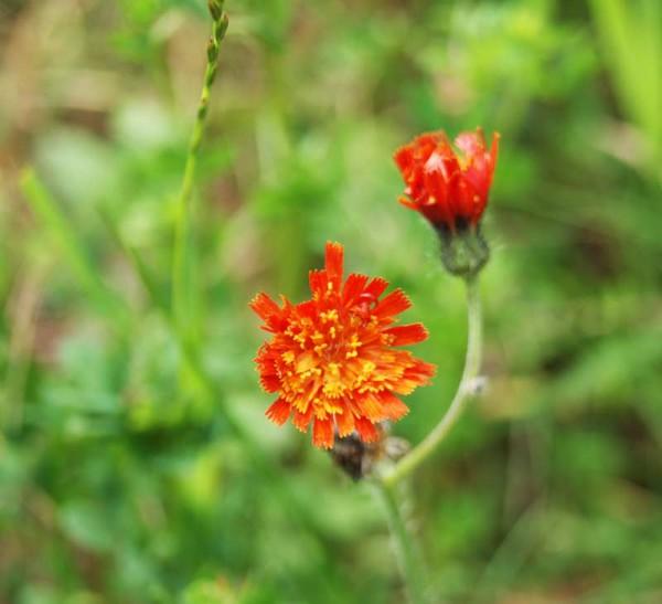 Hieracium aurantiacum, roter Habicht