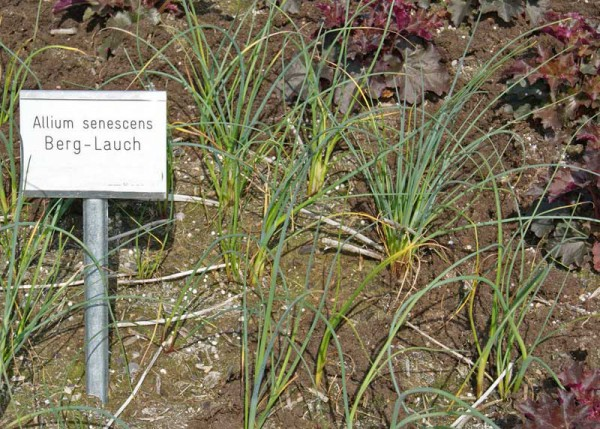Allium senescens, Berglauch