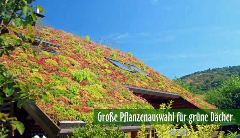 Große Sortenauswahl für grüne Dächer