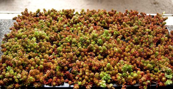 Sedum Album Sedum Album 39 Coral Carpet 39