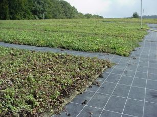 Vegetationsmatte, Sedumteppich
