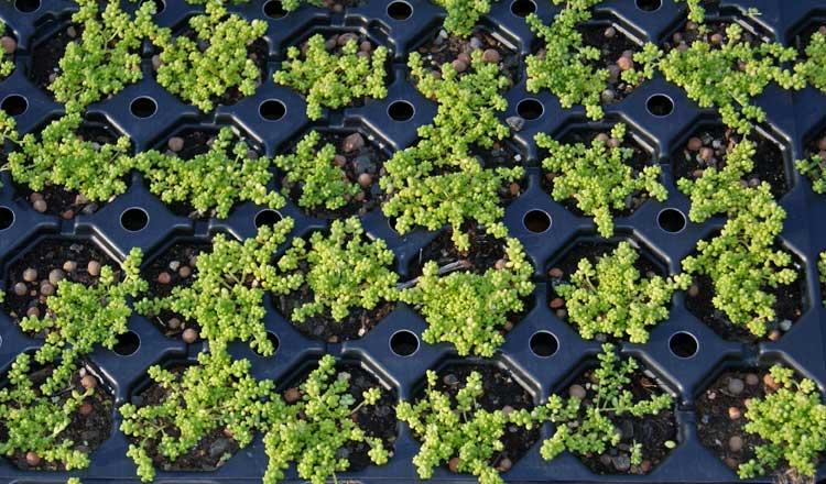 sedum album micranthum kleiner wei er mauerpfeffer dachgarten24 pflanzen f r ihr gr nes dach. Black Bedroom Furniture Sets. Home Design Ideas