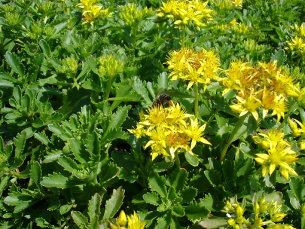 Sedum floriferum, Weihenstephaner Gold