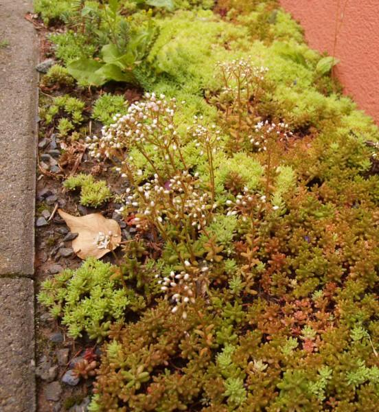 Sedum album 'Coral Carpet', Rotmoos Mauerpfeffer