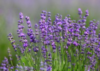 Lavendula angustifolia, Echter Lavendel