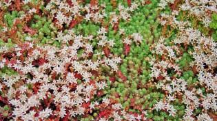 Sedum hispanicum, Spanischer Mauerpfeffer
