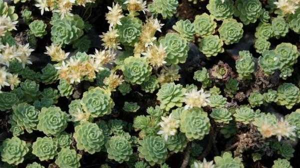 Afghanischer Rosenwurz - Rhodiola primuloides var. pachyclados