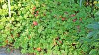 Geranium biokovo, Storchschnabel