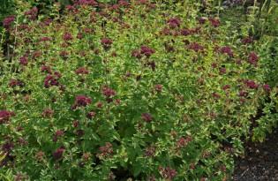 Origanum vulgare, wilder Majoran