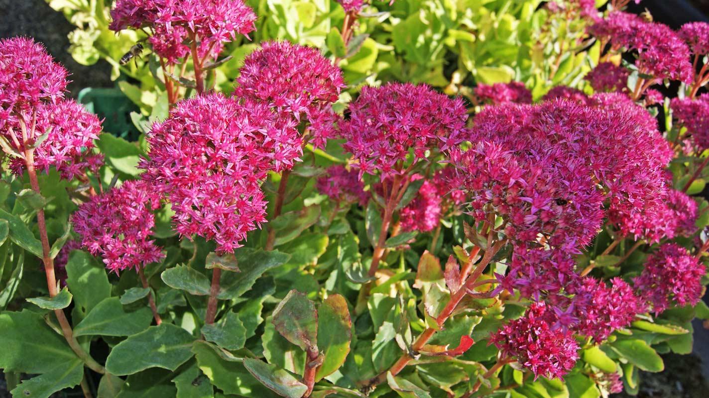sedum telephium 39 herbstfreude 39 dachgarten24 pflanzen f r ihr gr nes dach. Black Bedroom Furniture Sets. Home Design Ideas