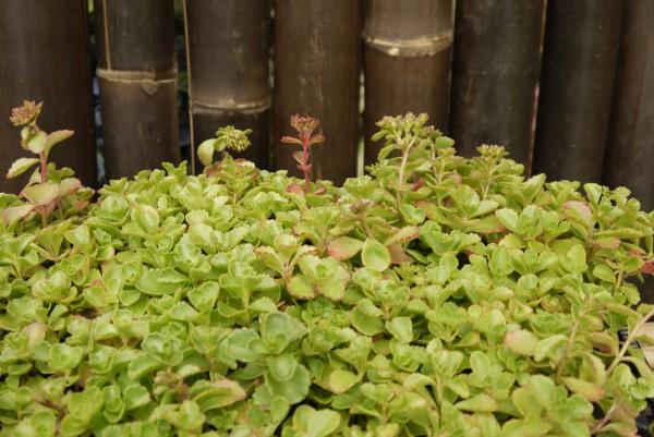 Teppichsedum, Sedum spurium 'rosa'