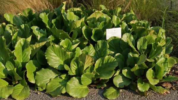 Riesensteinbrech, Bergenia cordifolia