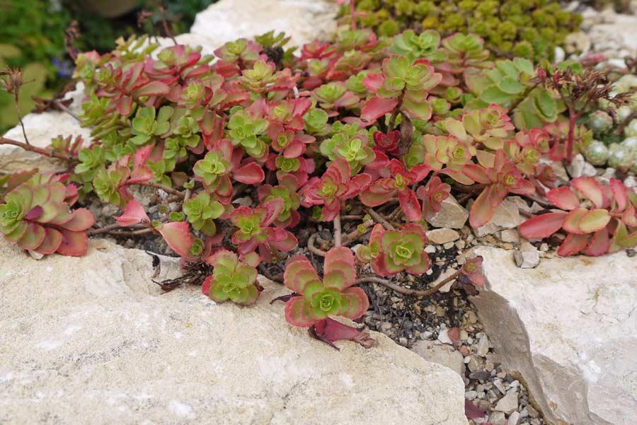 sedum pflanzen dachgarten24 pflanzenshop f r ihr gr nes dach. Black Bedroom Furniture Sets. Home Design Ideas