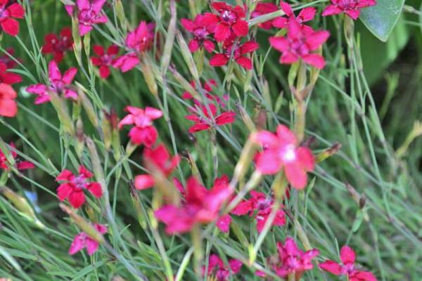 Dianthus deltoides, Heide-Nelke