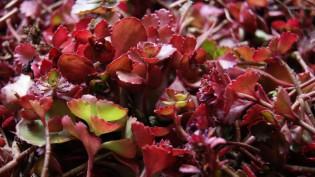 Sedum spurium 'Fuldaglut', Rotes Teppich-Fettblatt