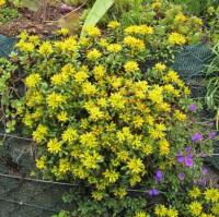 Sedum floriferum, Weihenstephaner Gold