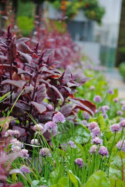 Allium schoenoprasum, Schnittlauch