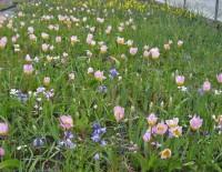 Blumenzwiebeln Mischung - für Ihr farbenfrohes Dach im Frühjahr