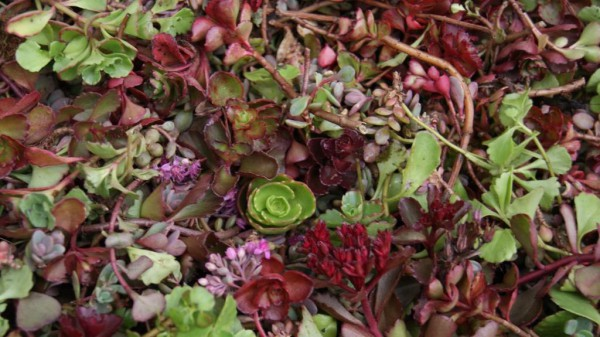 Sedumsprossen Rot-Rosa-Mix