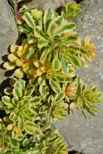 Sedum Hybridum Variegata, Sibirsche Fetthenne