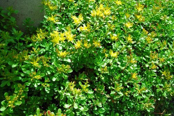 Sedum hybridum, Immergrünchen