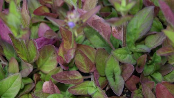 Prunella vulgaris, Braunelle