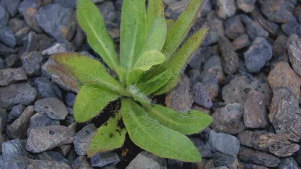 Hieracium pilosella, kleines Habichtskraut