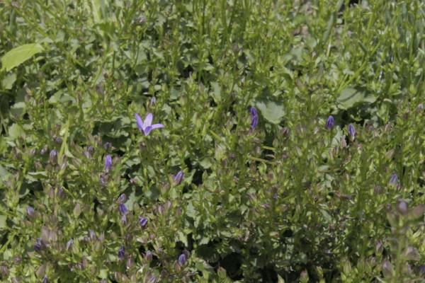 Campanula carpatica, Karpaten-Glockenblume