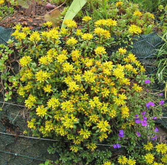 Weihenstephaner Gold, Sedum floriferum